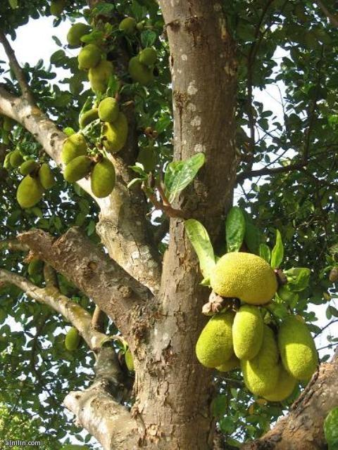 الجاك فروت الجاك فروت Jackfruit شجرة كبيرة جدا مستديمة الخضرة الورقة بسيطة جلدية طولها 13 سم ذات لون اخضر داكن قاتم أوراقها صغيرة مفصصة وتوجد إفرازات لزجة على كل أجزاء الشجرة . وتعتبر ثمرة الجاك فروت اكبر ثمرة في العالم ولها نكهة الموز والأناناس معا تسلق