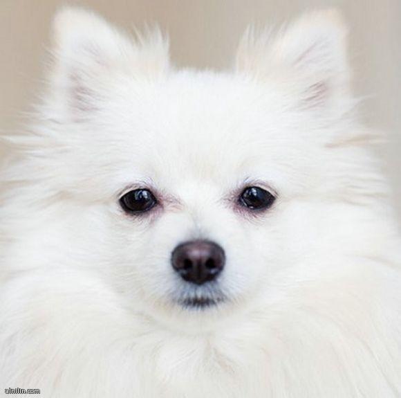 صور الحيوانات المعيارية-كلب ابيض