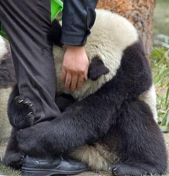 """صورة دب الباندا - يتمسك بشخص """"ارجوك لاتتركني """""""