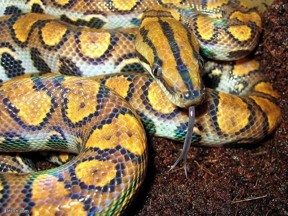 ثعبان قوس قزح البرازيلي - يوجد هذا الثعبان في أمريكا الجنوبية ويتميز بألوانه التي تشبه ألوان الطيف!