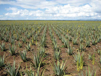 forever living aloe plantation