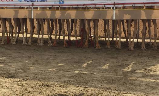camels at the starting gate