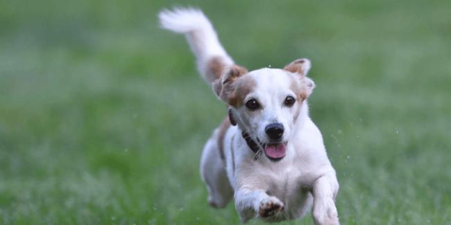 走り続ける犬