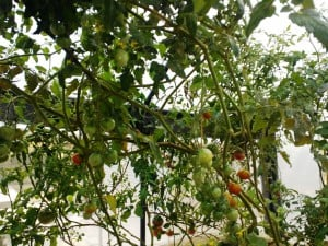 A jungle of cherry tomatoes in aquaponic greenhouse