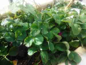 Aquaponic Strawberries in Winter