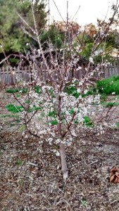 Apricot Tree in Spring - each blossom will grow into an apricot fruit