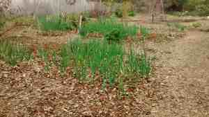 Onion and Garlic Plants Growing Together