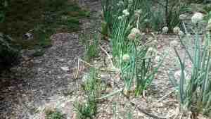 Aloha Farms food forest - new green onions growing next to the seed source - the previous generation of onions