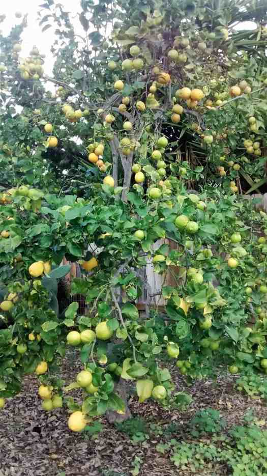 Aloha Farms food forest Lemon Tree in February 2017