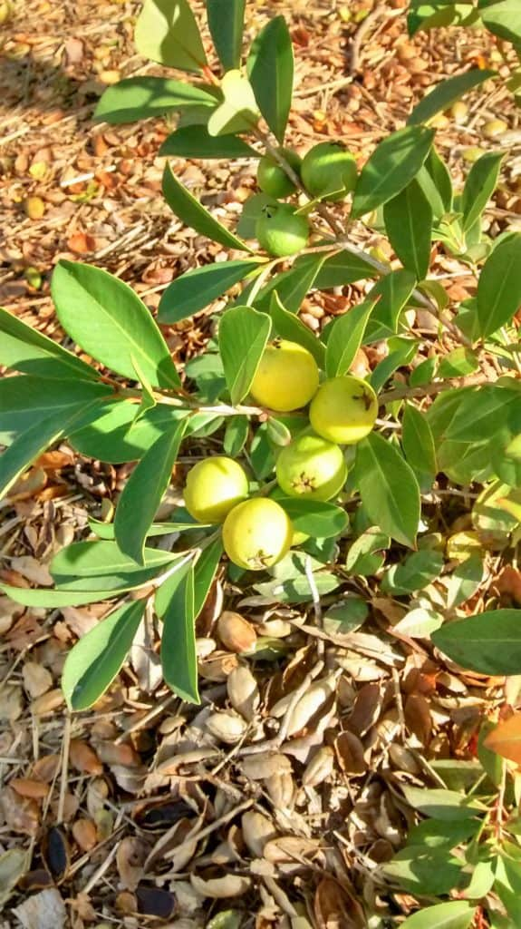 Aloha Farms food forest white guava tree in 2017 - with ripe guavas