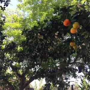 Aloha Farms food forest Navel Orange Tree - 40 years old and bursting with fragrant flowers and delicious fruit March 2017