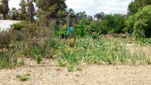 Aloha Farms food forest, where a few onions have now turned into a field of onions - and there's no end in sight!
