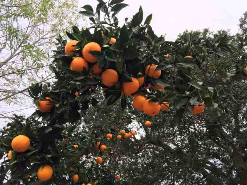 Aloha food forest Navel oranges grow on an over 30-year-old orange tree!