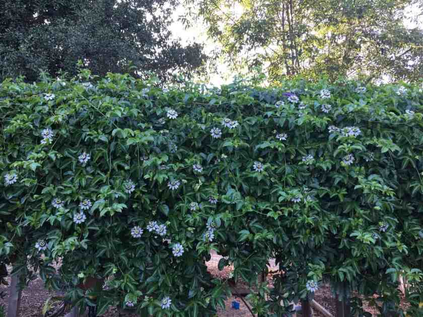 Aloha food forest grown passion fruit vine produces beautiful fragrant flowers, glossy green leaves, and mouthwatering passion fruit