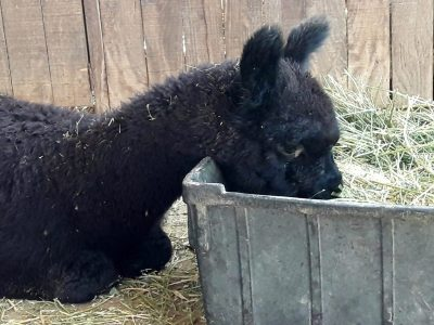 Sit-down for Alpacas only!
