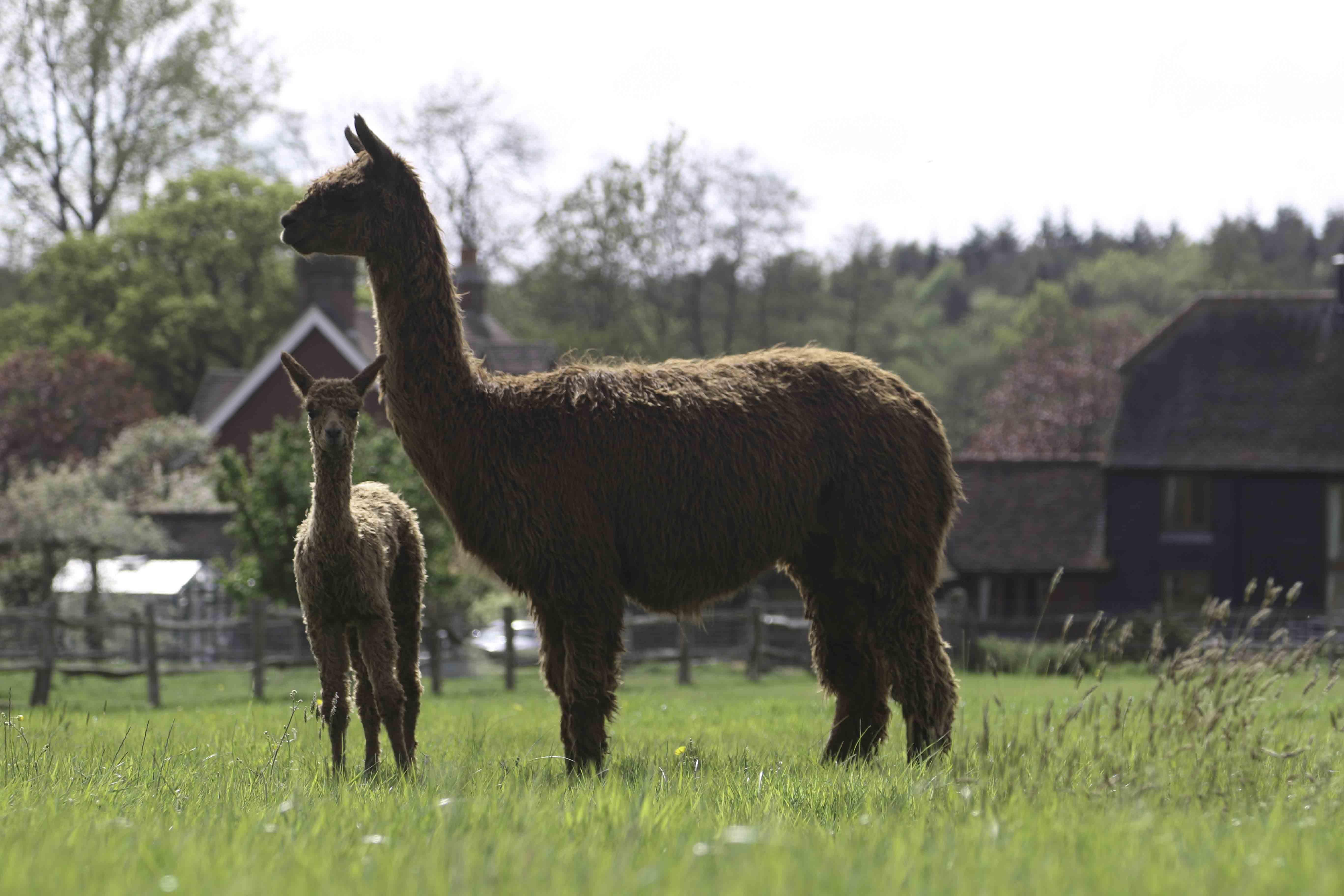 Alpaca Babies Cria Alpaca Walking Spring Farm Alpacas
