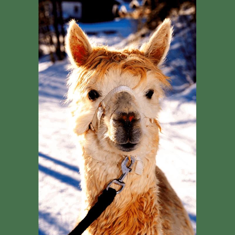 Alpaka-Gschnitz-5-Alpaka-Auswahl Willkommen bei Gschnitzer Alpaka
