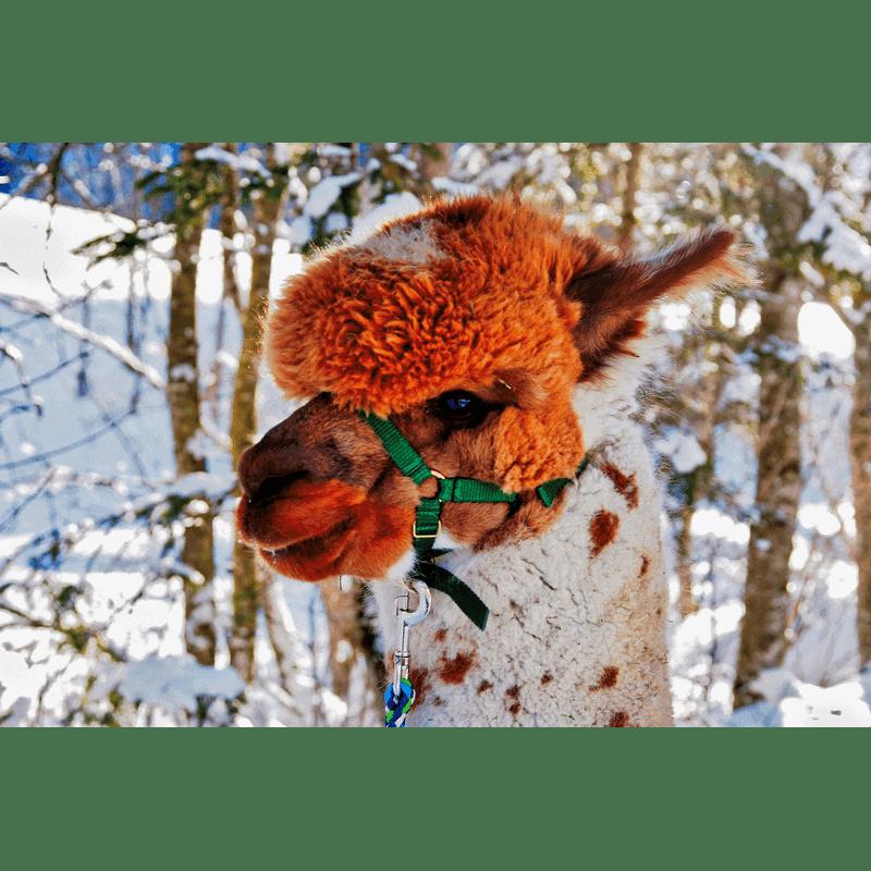 Alpaka-Gschnitz-7-Alpaka-Auswahl unsere Herde