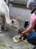 das neugeborene Fohlen muß versorgt werden