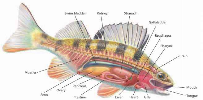 perch internal anatomy diagram nitrous express maximizer 5 wiring - critical thinking alpf medical research