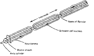Myelinated nerve fibres  Membrane Potential  ALPF Medical Research