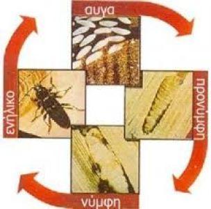 Βιολογικός κύκλος του σαρακιού