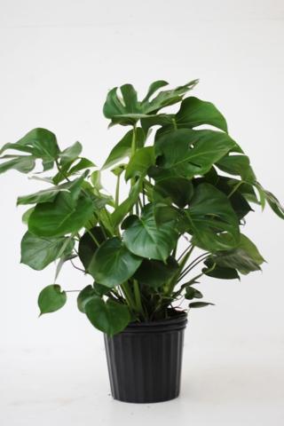 Alpha Botanical  Monstera Plant Care Profile