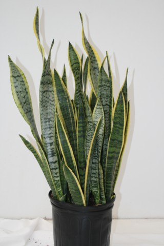 Alpha Botanical  Sansevieria Plant Care Profile