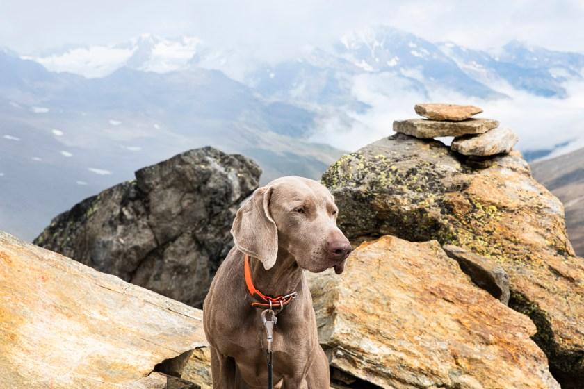 allevamento weimaraner roma alpha centauri weimaraner breeding cani da caccia e lavoro
