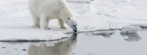 climate_change_polar_bear