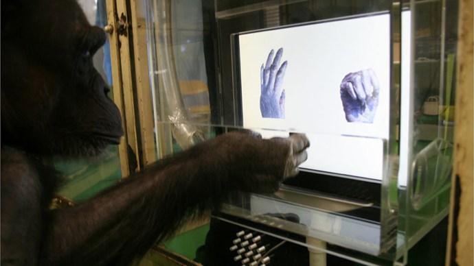 chimp_rock_paper_shotgun_computer_test
