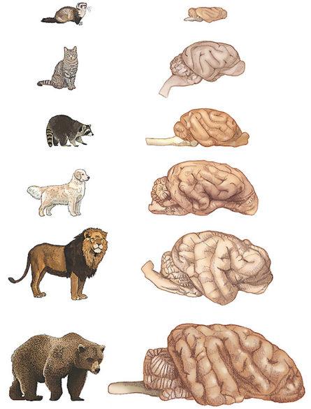 carnivore-brain-llustration-445x585