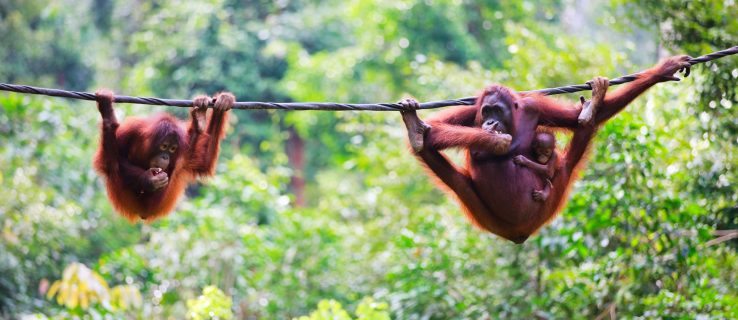 Humans are decimating Borneo's orangutan population, new research shows
