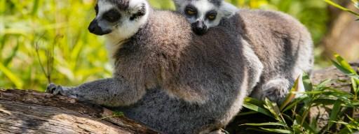 lemurs_cognitive_ability_social_standing