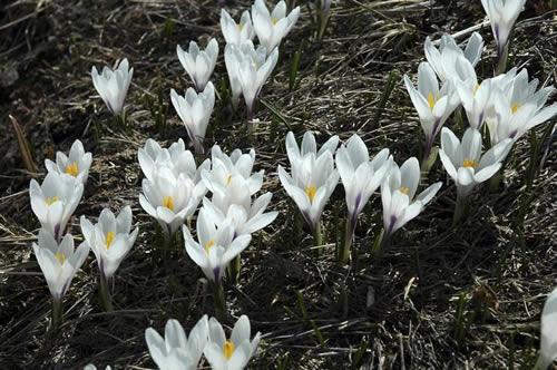 I fiori delle Alpi  Alpinismo  Co