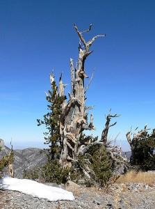 Pinus_longaeva