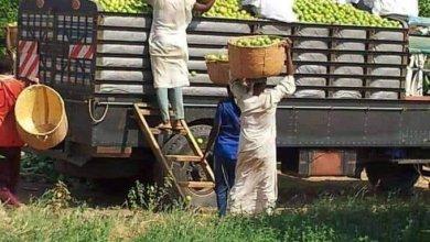 الزراعة في السودان - الليمون