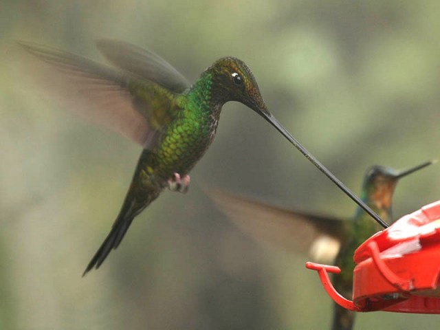 Sword-billed Hummingbird (Ensifera_ensifera)