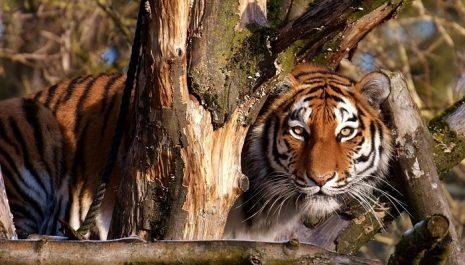 تفسير حلم رؤية النمر يطاردني أو يلاحقني الهروب منه في المنام