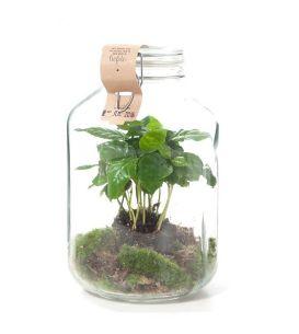 green-lifestyle-store-plant-coffea-arabica-in-weck