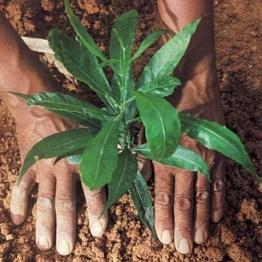 menanam