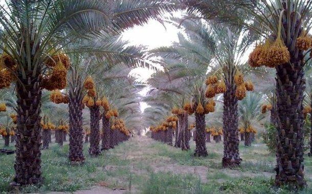 Laksana Pohon Kurma