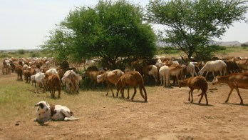 An unknown illness kills thousands of livestock in White Nile state