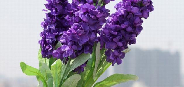عسل زهرة اللافندر او الخزامي