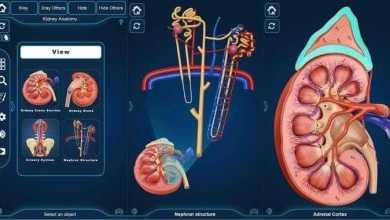 التركيب التشريحي للكلى Kidney Anatomy