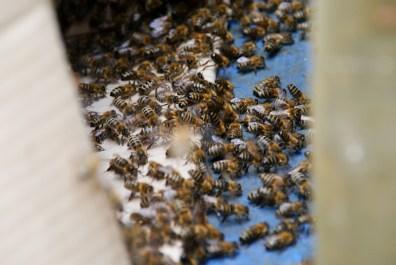 Das Volk folgt der Königin in den Bienenstock