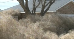 A home in Roswell, New Mexico buried under tons of tumbleweeds