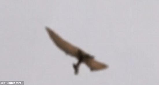 Prehistoric pterodactyl captured on amateur video