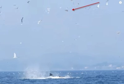 Photo showing seal 80 feet in the air after being punted by a orca killer whale