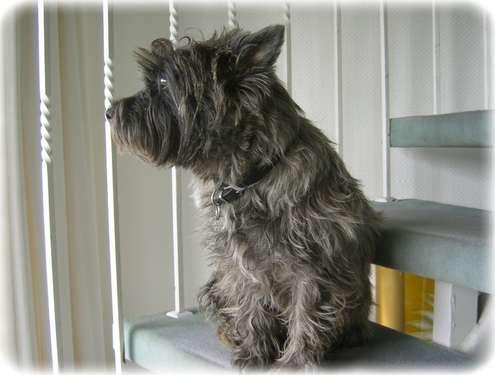 Cairn-Terrier Luna wartet auf den Briefträger